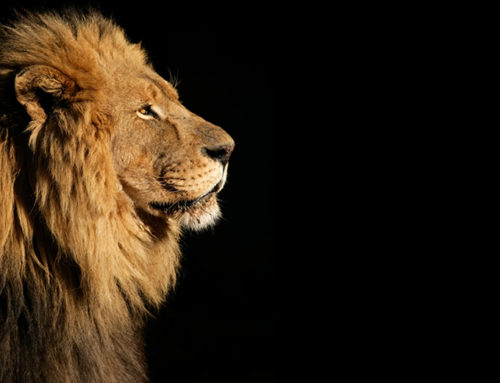 How the death of Cecil the Lion teaches and heals us